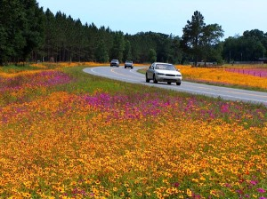Florida's beautiful spring time wildflowers in full bloom along US Highway 129, located in Suwannee county, Florida.